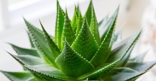 Aloe Vera: un nutraceutico, un prebiotico adiuvante nelle lesioni cutanee croniche